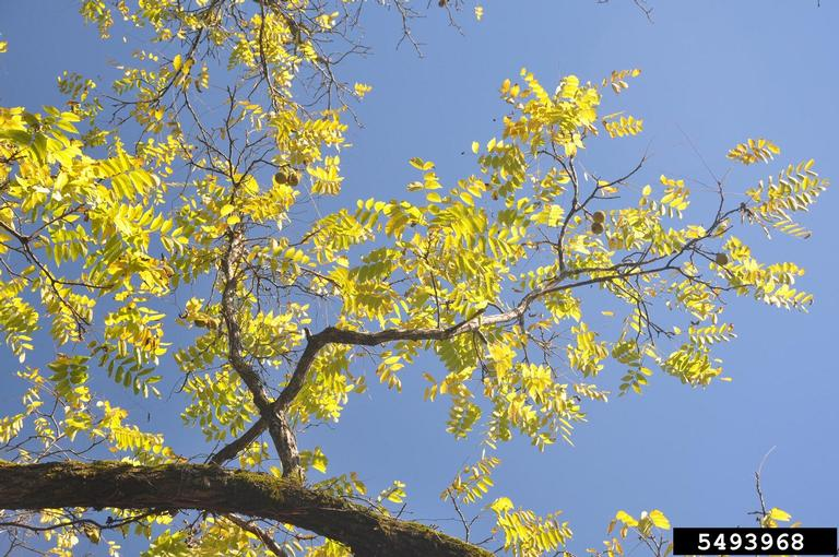 Looking up at the leaves and branches of a black walnut tree against blue sky