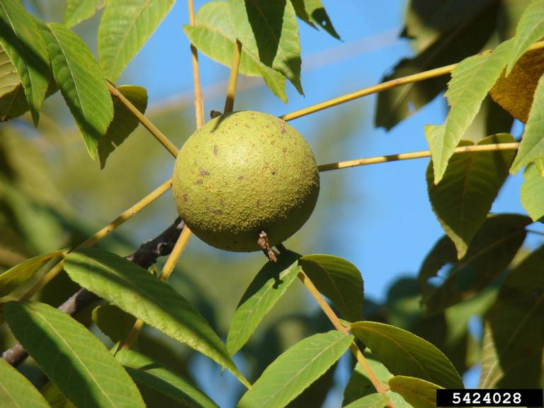 Close-up of black walnut fruit and surrounding leaves