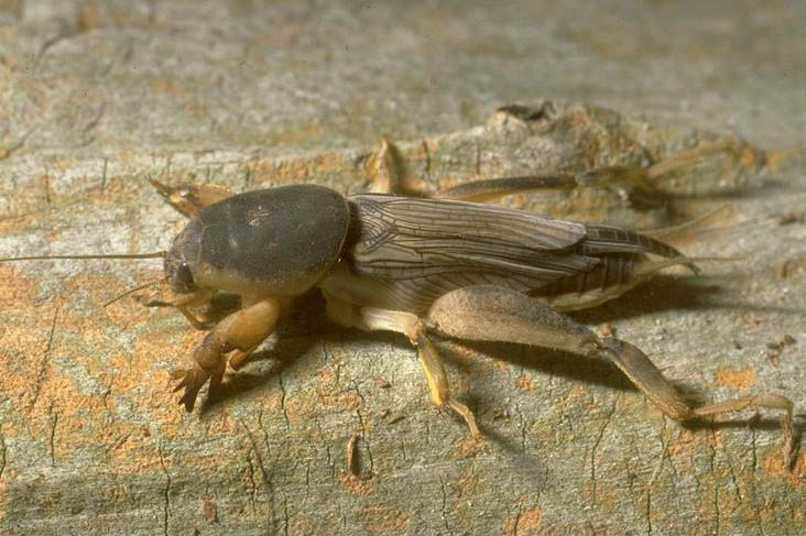 To prevent mole crickets from destroying your lawn this fall, control them now by treating at night.