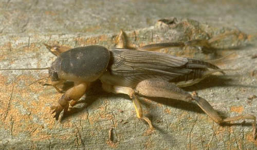 Southern Mole Cricket