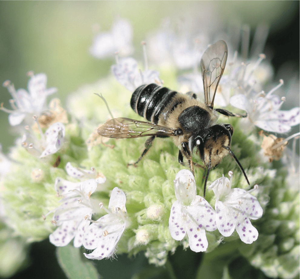 leafcutter bee on mountain mint (1)