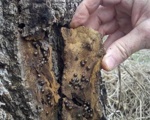 Kudzu Bugs on Bark