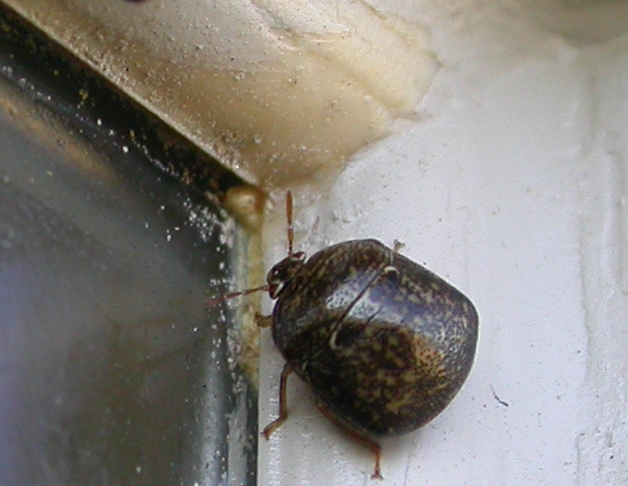 The bean plataspid, or kudzu bug, arrived in Georgia in the fall of 2010.  It has since spread across the Southeast.