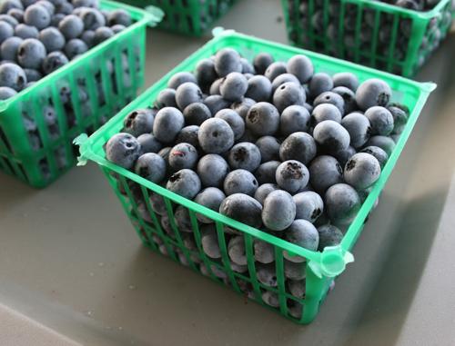 Blueberries sit in baskets at the UGA organic research farm. Photo taken July 23, 2008 in Watkinsville, Ga.