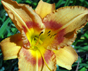 Hemerocallis (daylily) blooms in the University of Georgia Research and Education Garden in Griffin, Ga.