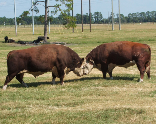 Beef cattle prices are high now and reached historic highs earlier this year. Facing drought and feed shortage, though, southeastern cattle producers still must make tough decisions when it comes to their financial bottom lines and keeping herds healthy. The Southeast Cattle Advisor website was developed by cattle experts with the University of Georgia, Auburn University, University of Florida and Clemson University to be a one-stop shop for cattle producers to get information on how to best manage their risk.