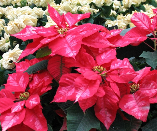 Red poinsettias with white poinsettias in the background.