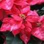 Students in UGA's Tau chapter of the national Pi Alpha Xi (PAX) will be taking orders for poinsettias until Dec. 8.