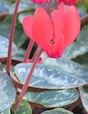 Given cool growing conditions and a well-lighted spot out of direct sunlight, cyclamen can bloom for several months.