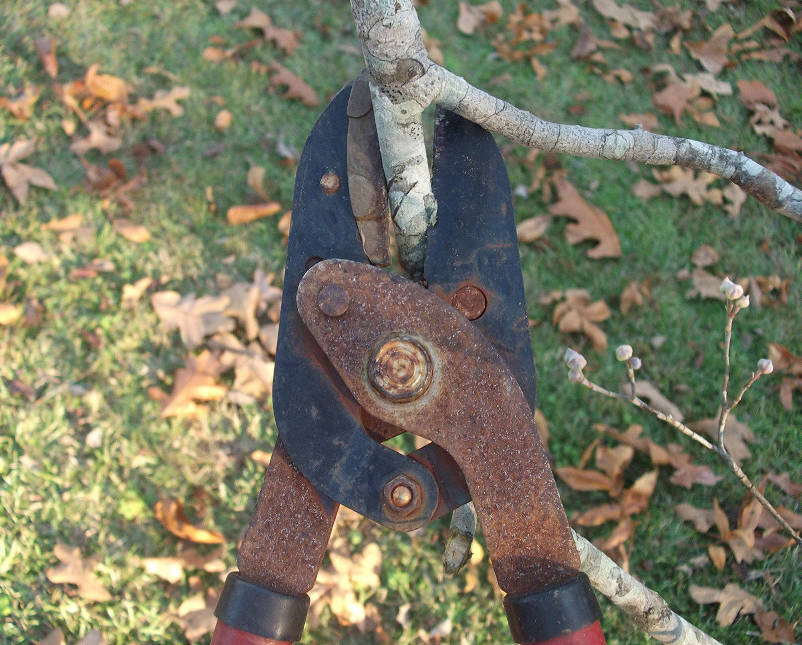 January is a great time to check trees and shrubs to see which need to be pruned and to plan a pruning strategy.