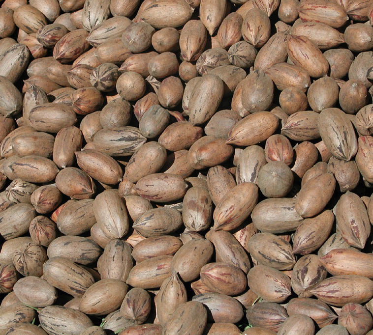 """Pecans are known to be the healthiest of all tree nuts, packing more antioxidants than any other. What isn't so certain is how the heck do you correctly pronounce it? Is it """"pee-can"""" or """"pe-cahn""""?"""