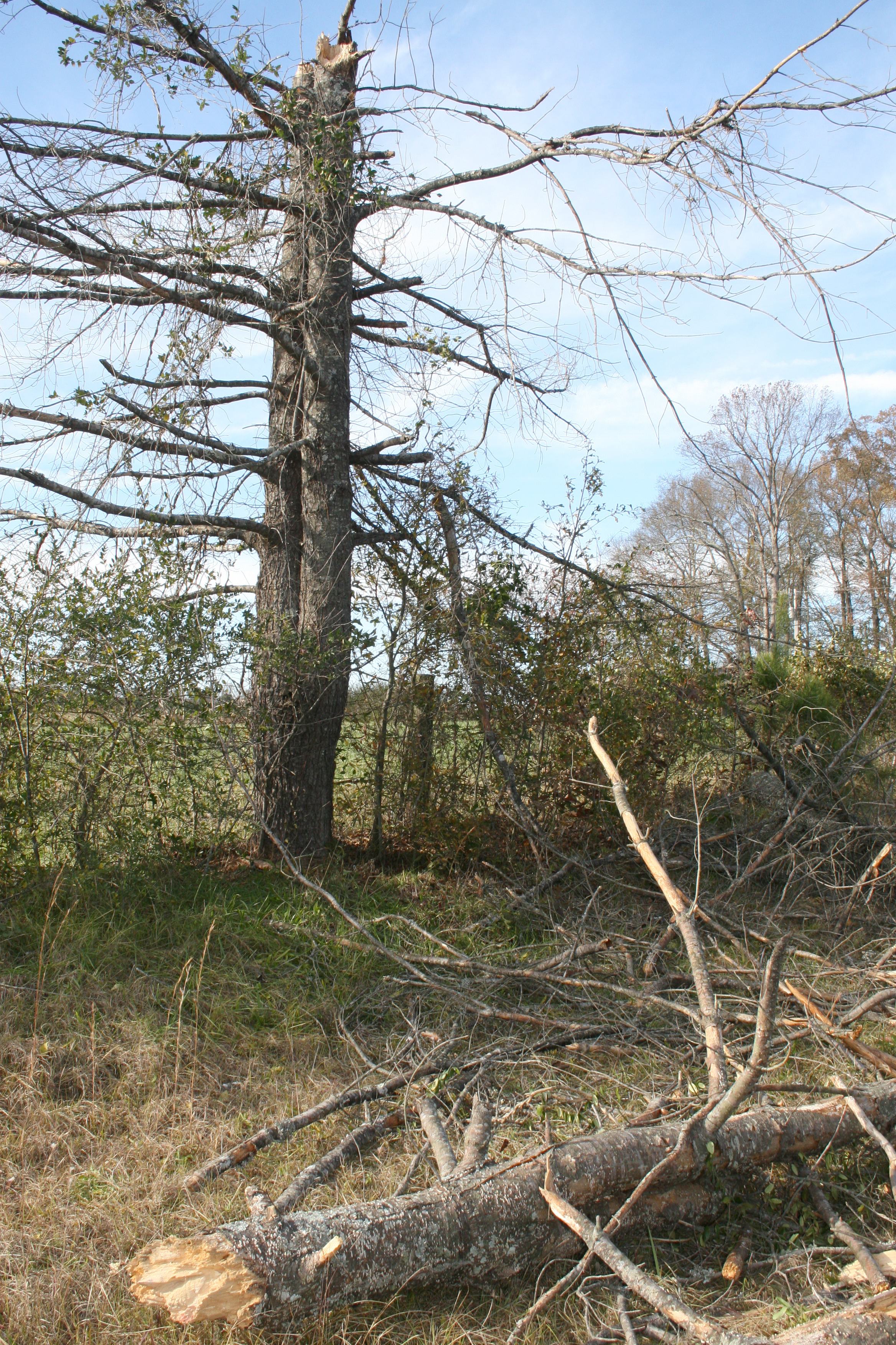 Trees were downed and limbs dislodged across central Georgia as a result of high winds Jan. 8. If trees must be replaced, take extra time to select strong, sturdy replacement varieties.