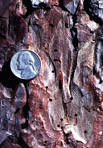 Engraver beetles leave pin-sized holds in the bark of pine trees when they exit the tree.