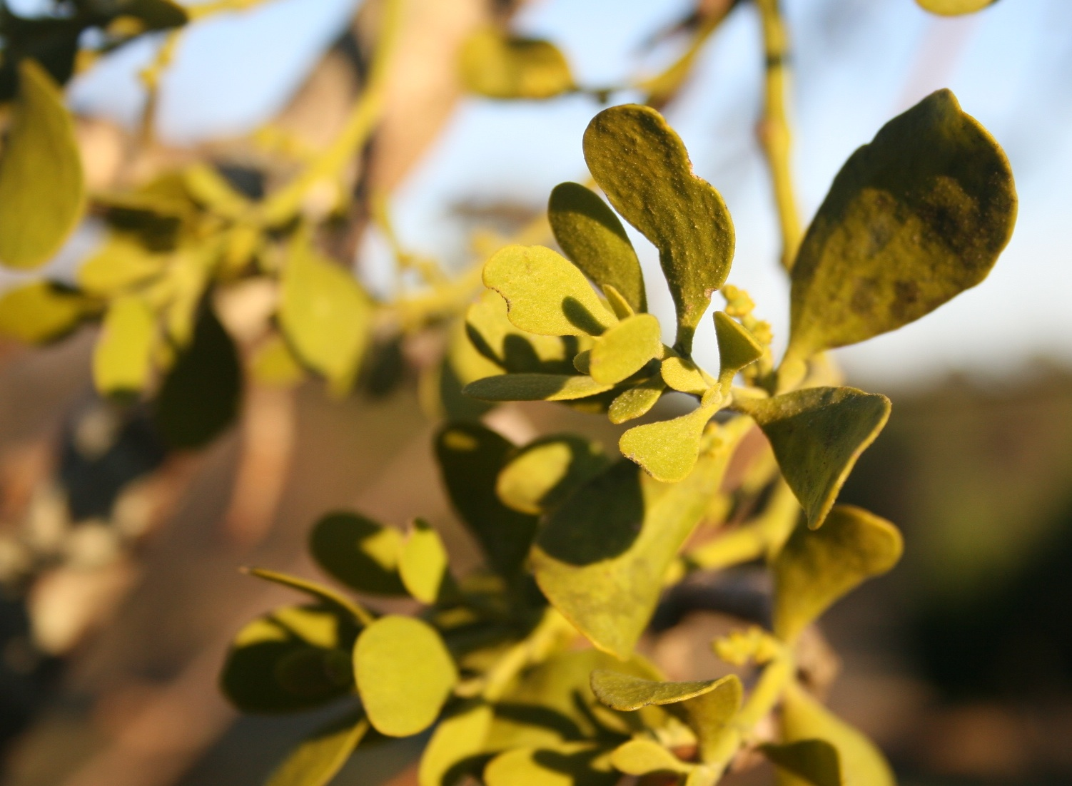 Sweethearts may love mistletoe, but trees don't.  It's actually a parasite that uses the tree as a host.