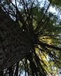Eastern hemlocks tower over a forest in Elijay, Ga.