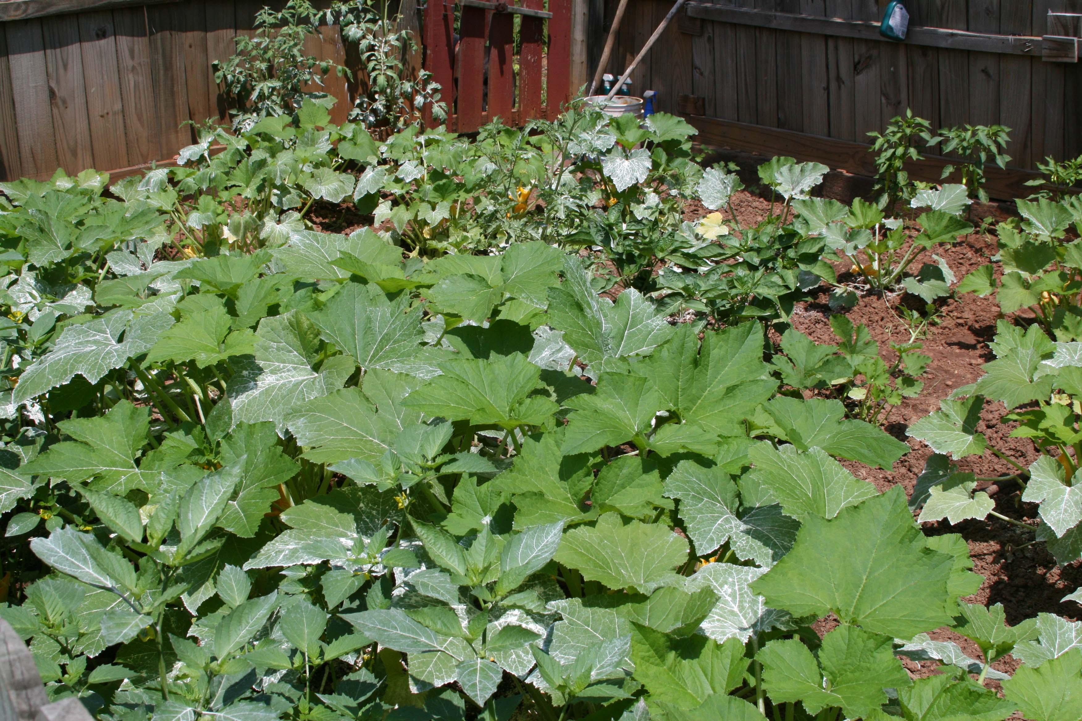A vegetable garden in Butts Co., Ga.