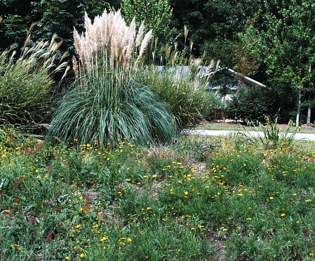 Pampas grass with white plumes