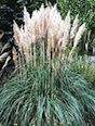 Pampas with white plumes