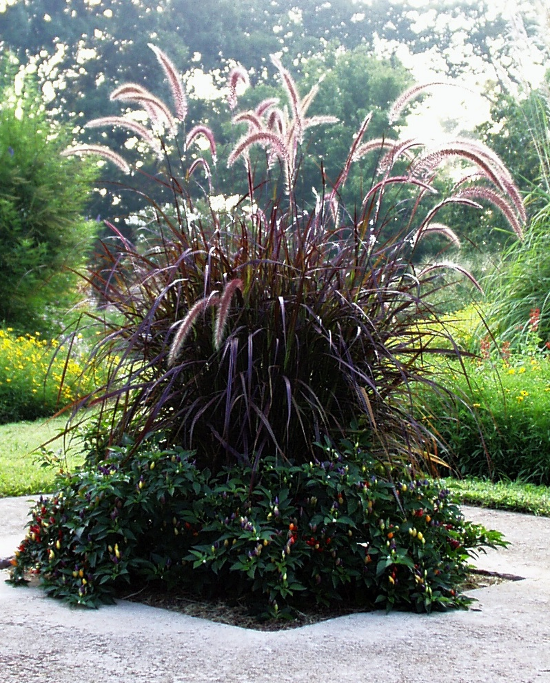 In late summer, pampas grass produces plumes that raise the plant's height to 12 feet. Female plants produce plumes that are broad and full due to silky hairs covering the tiny flowers. Male plumes appear narrow and thin because of the absence of hair on the flowers.