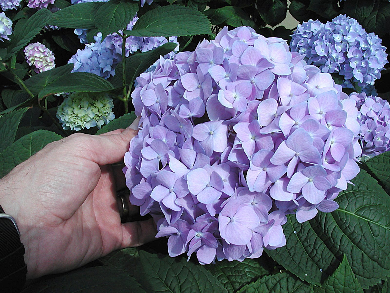 Hydrangeas can be both landscape plants and potted plants. Known for their pom-pom shape, hydrangea bloom colors can be changed by adding sulfur or lime to the soil.