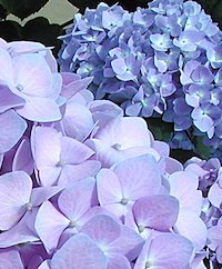Plants with big leaves, like hydrangeas, often wilt during the hottest part of the day. It's tempting to water wilted plants at the end of the day, but morning is a much better time to water.