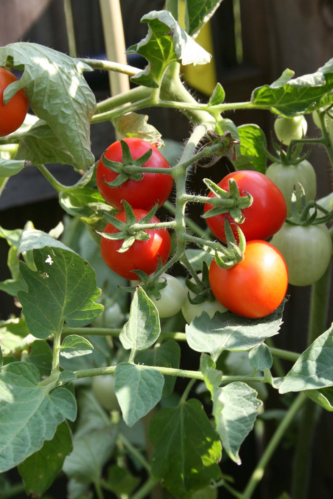 If you would like to have a few tomatoes ready to eat each week, UGA horticulturist Robert Westerfield recommends planting a few indeterminate varieties like 'Better Boy', 'Beefsteak' or 'Big Beef'.
