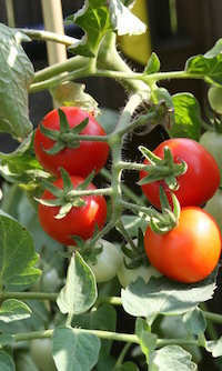 Tomatoes come in many shapes and sizes. If you prefer smaller fruit, Lowndes County Extension Coordinator Jake Price recommends you plant popular cherry tomato varieties like 'Jolly', 'Sweet Baby Girl' or 'Super Sweet 100' hybrids.