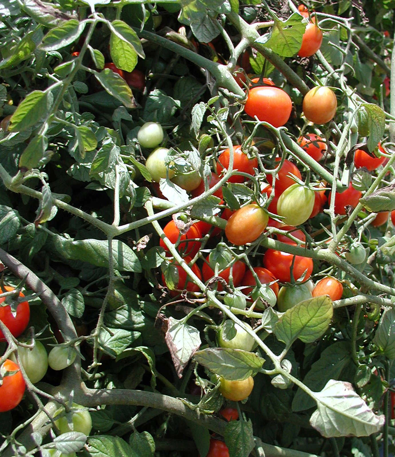 Cherry tomatoes grow on a vine in Albany, Ga.