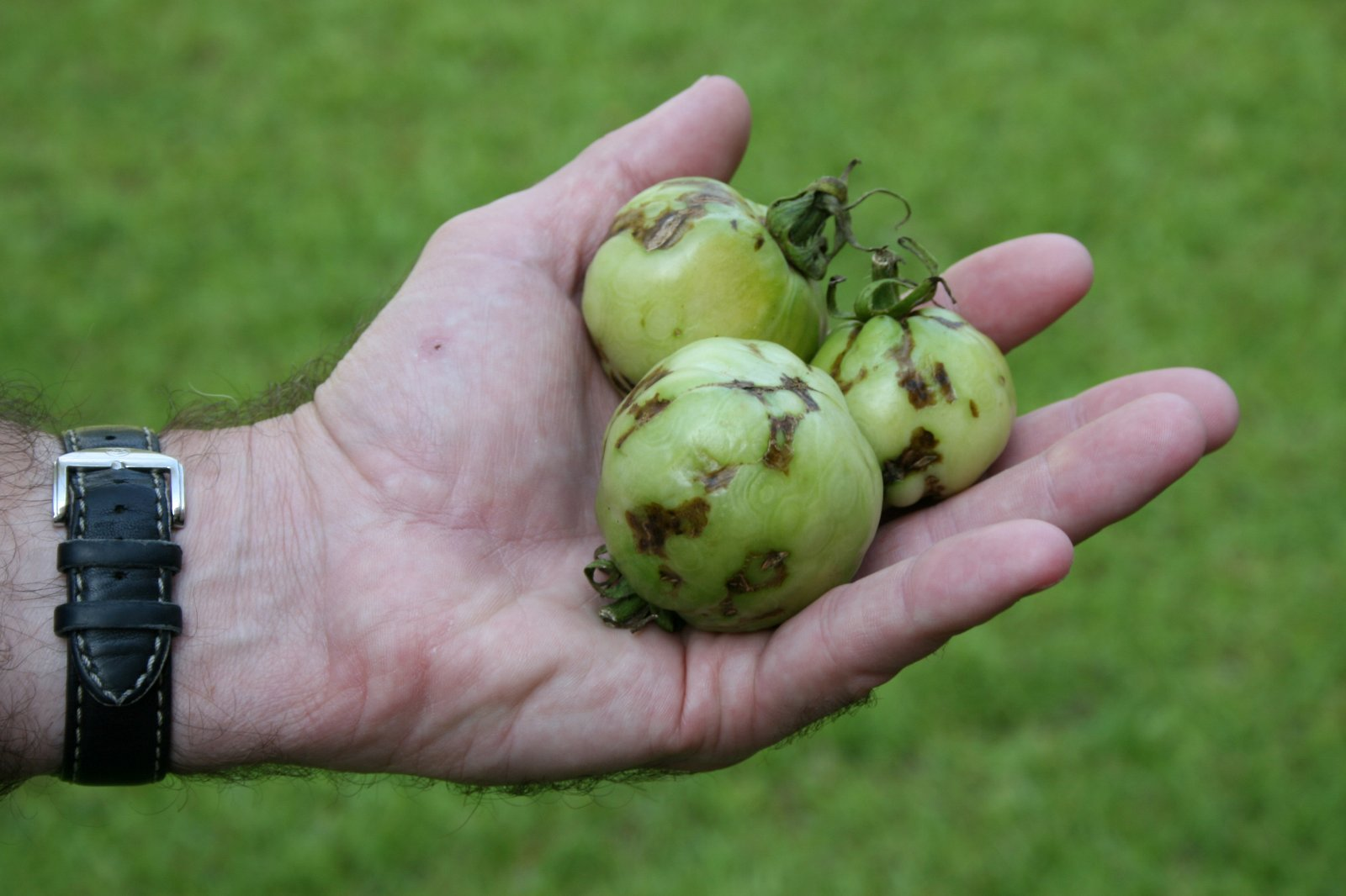 Green tomatoes infected with Tomato Spotted Wilt Virus.