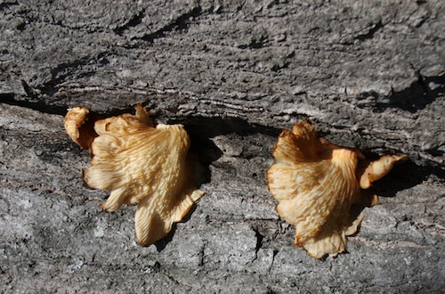 Conks, fibrous but sometimes fleshy fruiting bodies of a wood-rotting fungus, grow on a tree