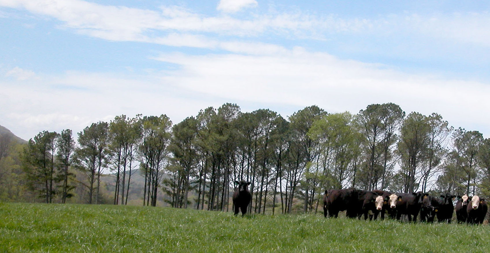Beef cattle graze in a pasture at the University of Georgia Mountain Research and Education Center in Blairsville, Ga.