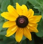 A lone Blackeyed Susan grows on a research farm at the University of Georgia campus in Griffin, Ga.