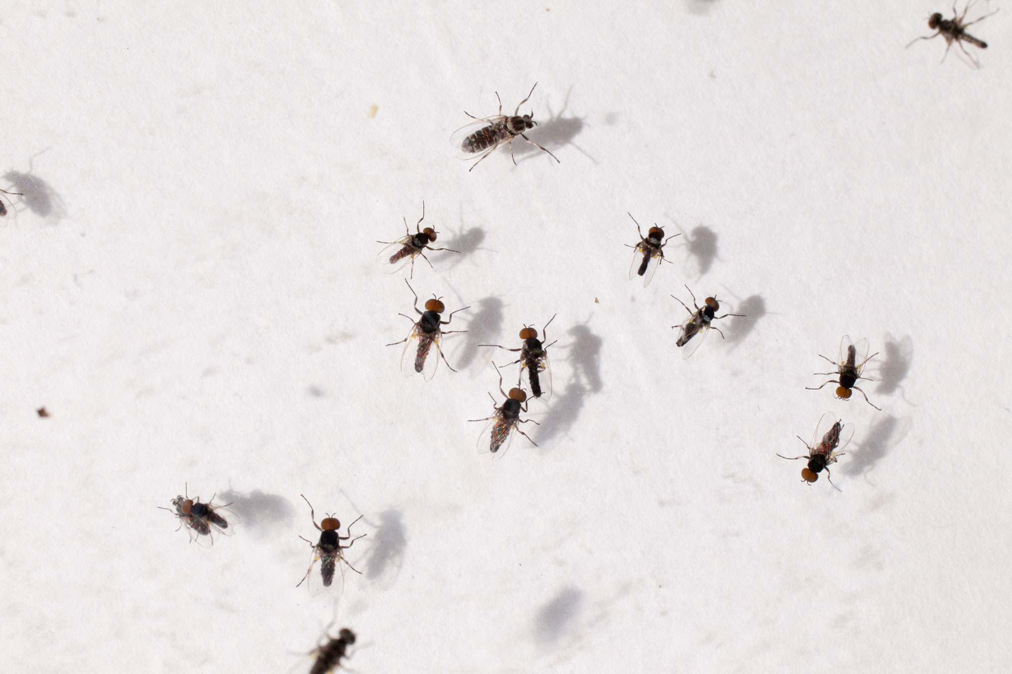 After months of above-normal rainfall, northeast Georgia is seeing the return of swarms of tiny, black flies.