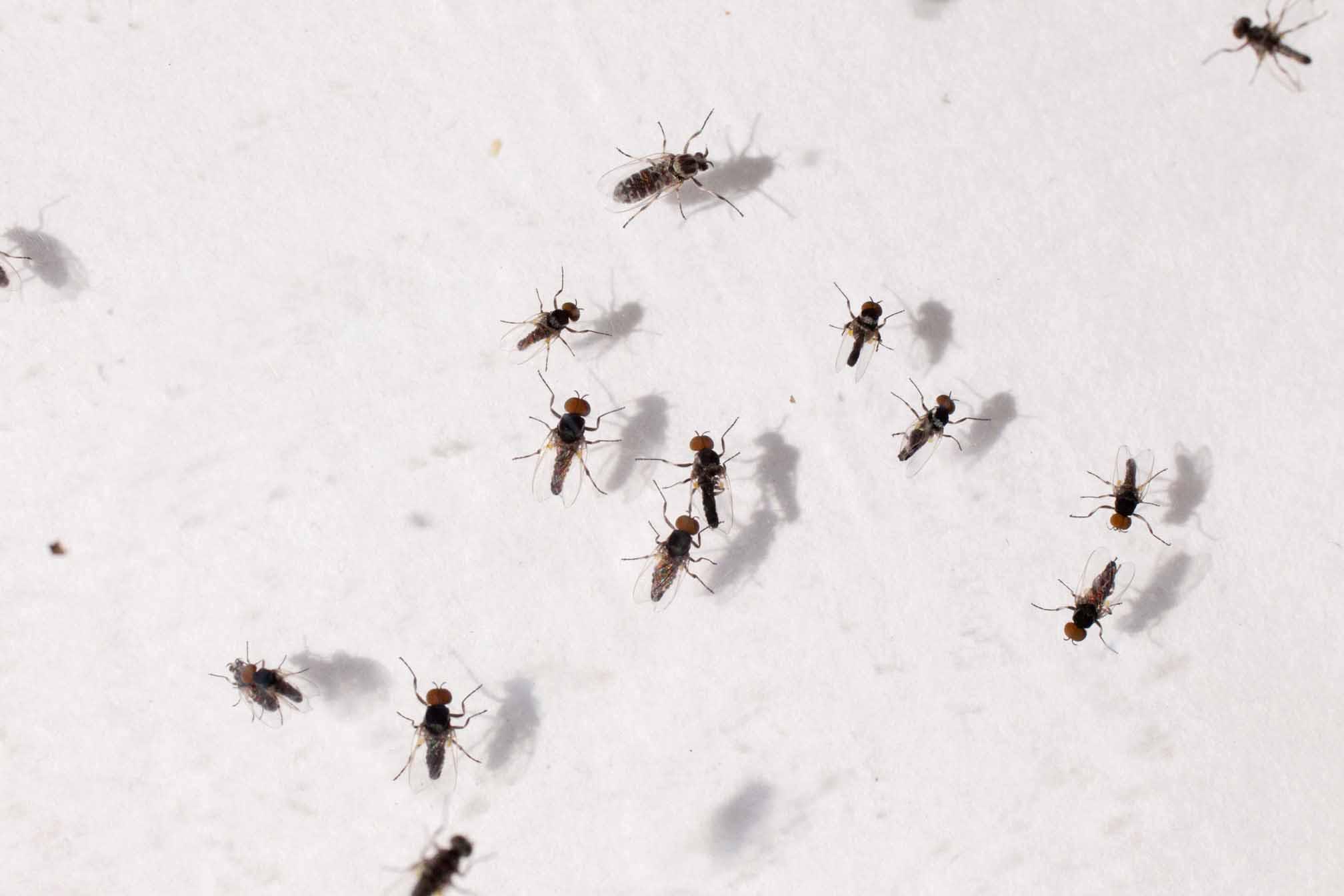 A group of black flies
