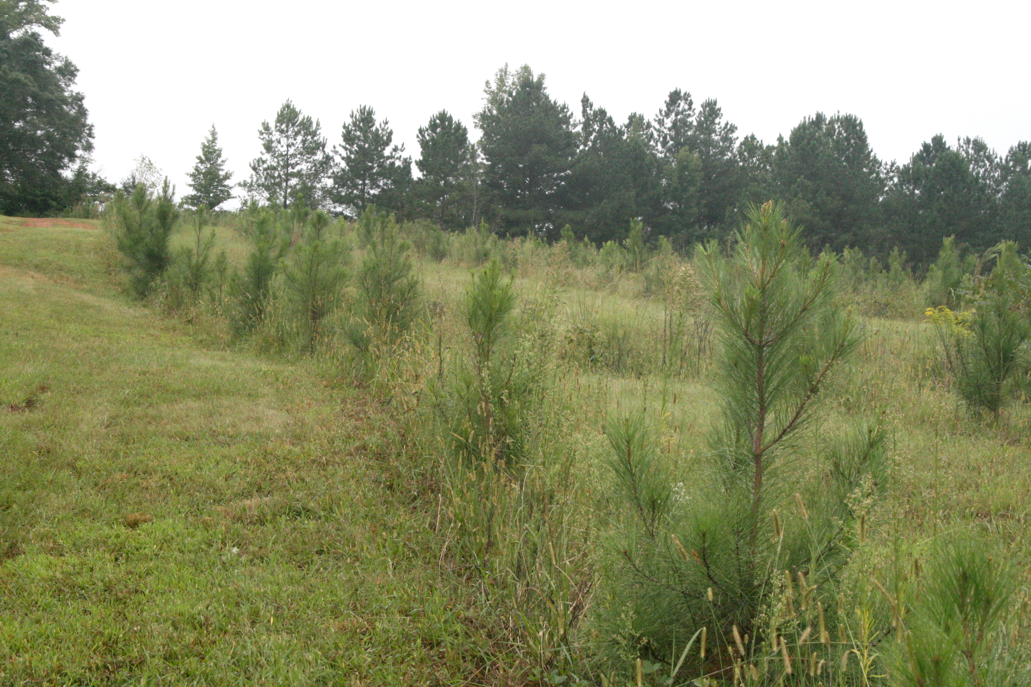 A row of pines at the Westbrook Research Farm on the UGA campus in Griffin, Georgia.