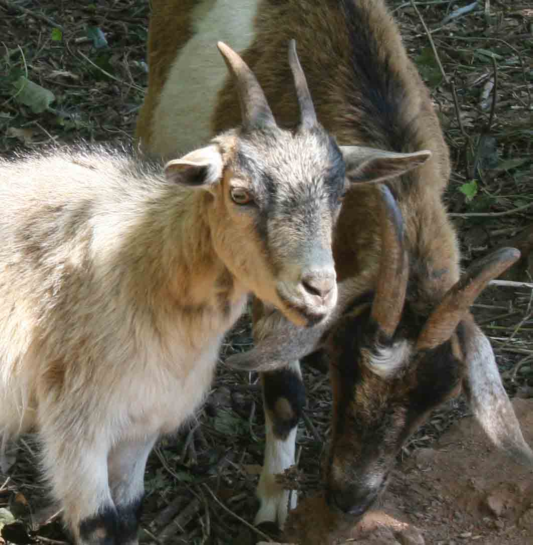 Photos of goats cleaning up the banks of Tanyard Creek near Baxter Street in Athens. Students from the UGA College of Environment and Design installed the goats as part of service-learning project.