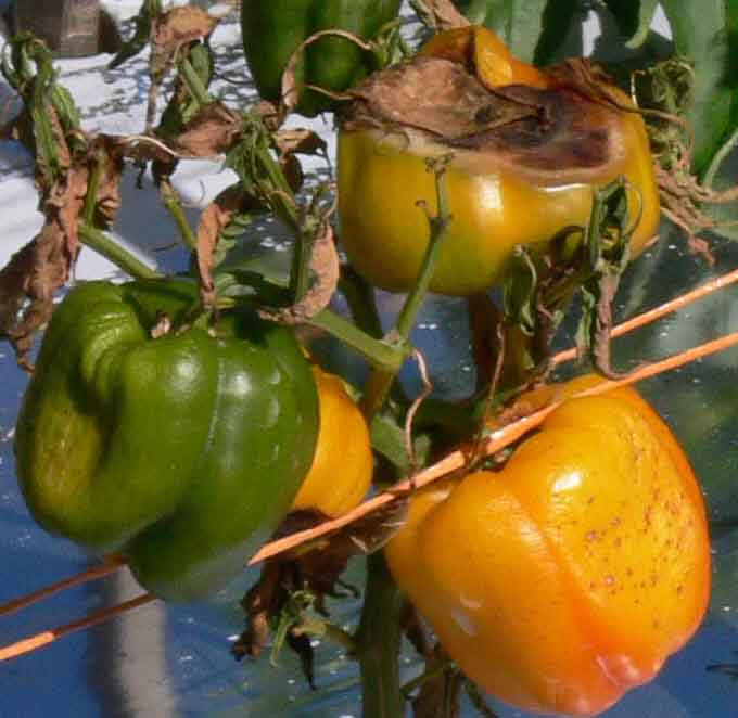 Bell peppers with sunscald and fruit decay due to heat stress.