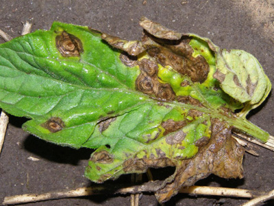 Early blight is burning tomato leaves earlier this gardening season, a University of Georgia Cooperative Extension agent says.