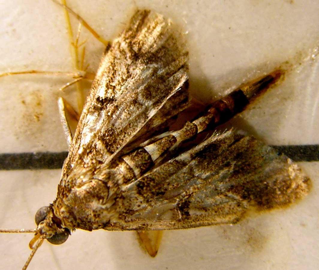 A European Pepper Moth found in Tifton, Ga. in October 2011.