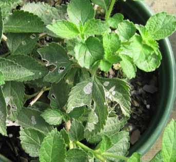 European Pepper Moth damage on lantana.
