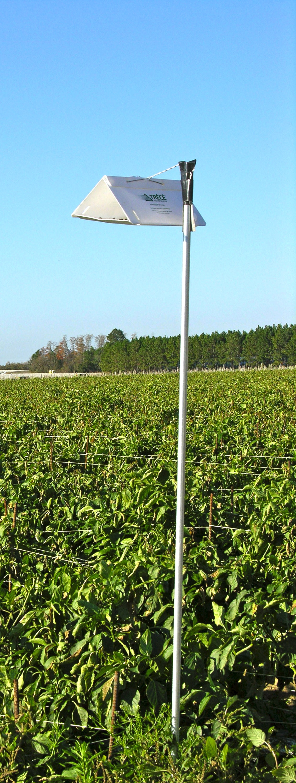 European Pepper Moth pheromone trap in a pepper field.
