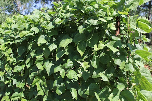 Green beans grow up a trellis in a Spalding County, Ga., garden.