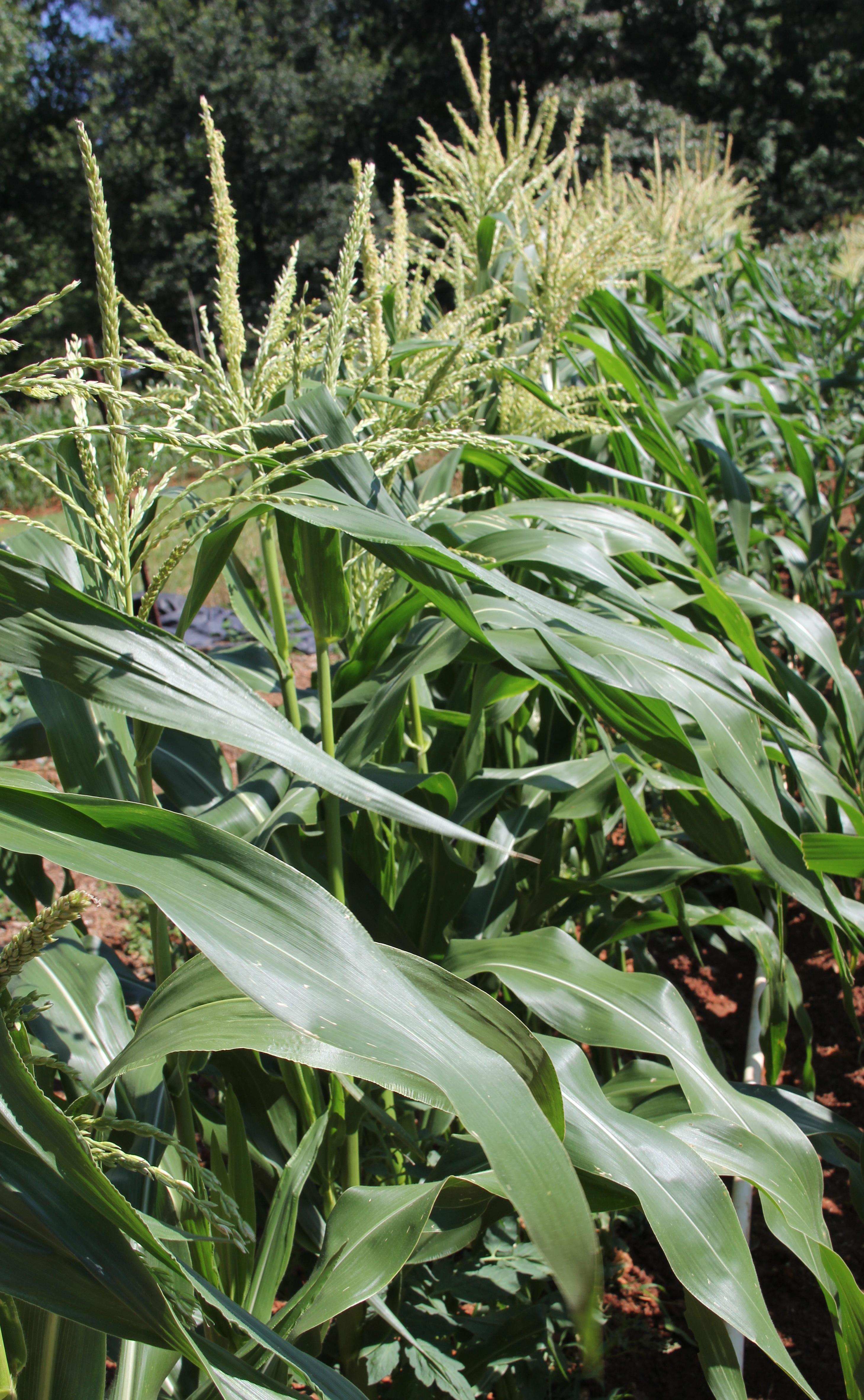 Corn tassels stretch toward the sun in a Spalding County, Ga., garden.