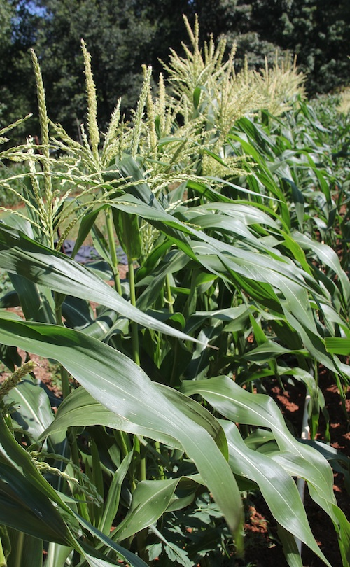 Corn tassels stretch toward the sun in a Spalding County, Ga., garden.