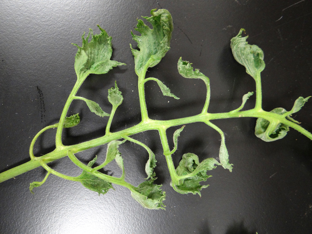 Suspected 2,4-D herbicide damage on tomato.
