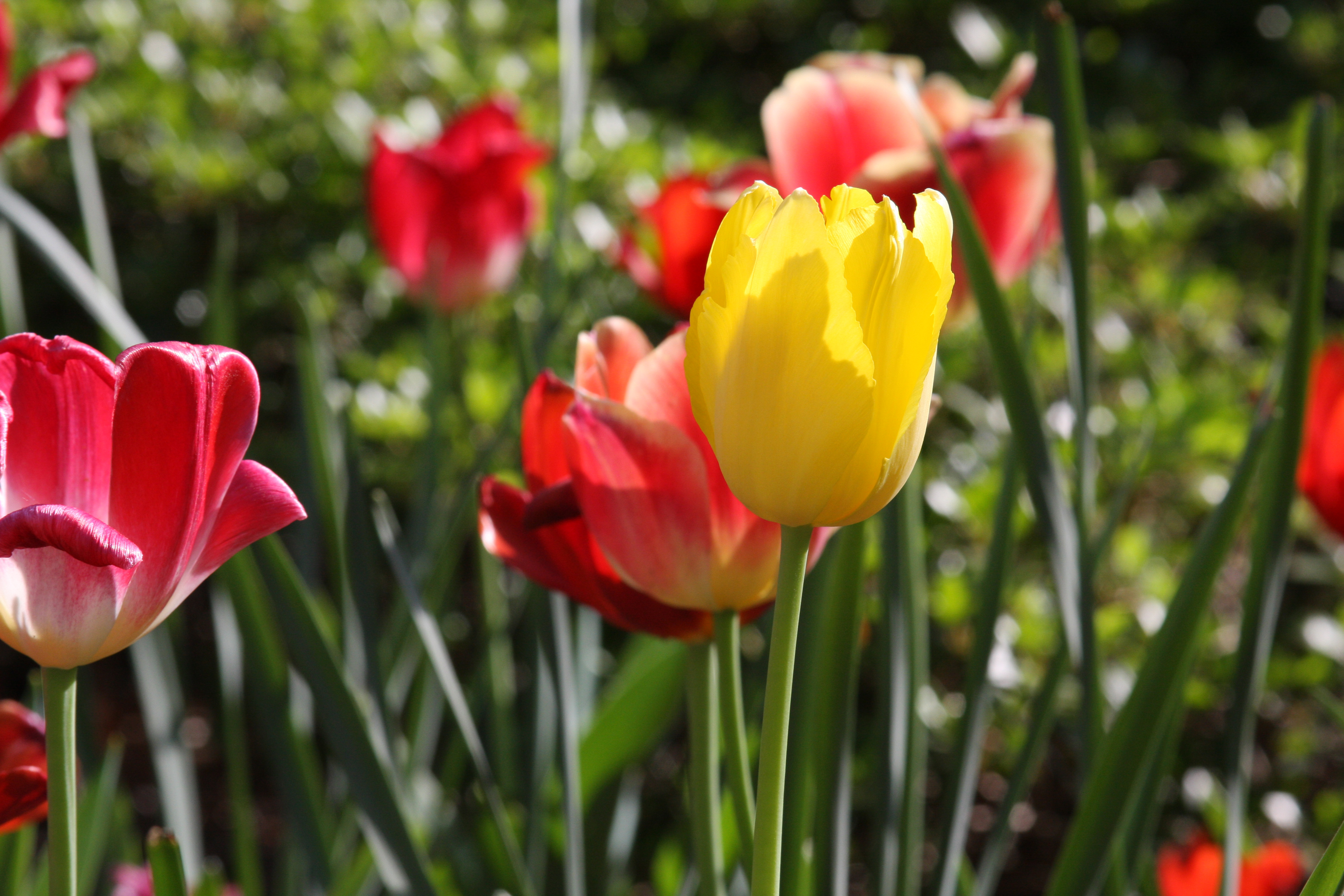 Red and yellow tulips brighten a flower bed.